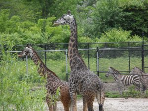 Giraffes Kansas City Zoo